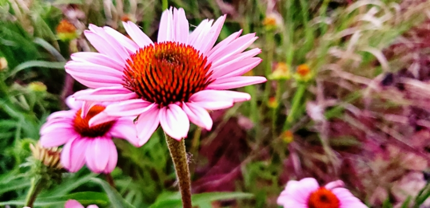 00-coneflower-pink-20180622_203930_A900