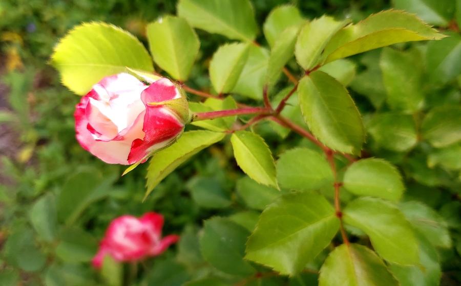00-gardenrose-41846585994_B900
