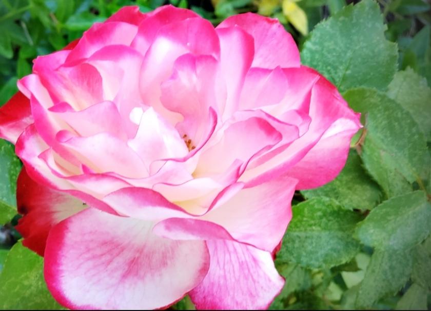 00-gardenrose-42527308711B900