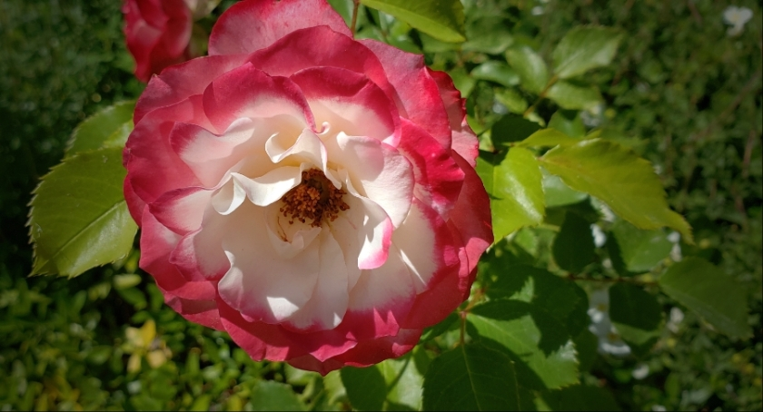 00-gardenrose-42599913562_A900
