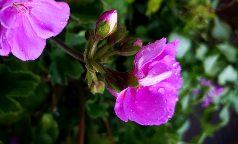 00-geranium-purple-900