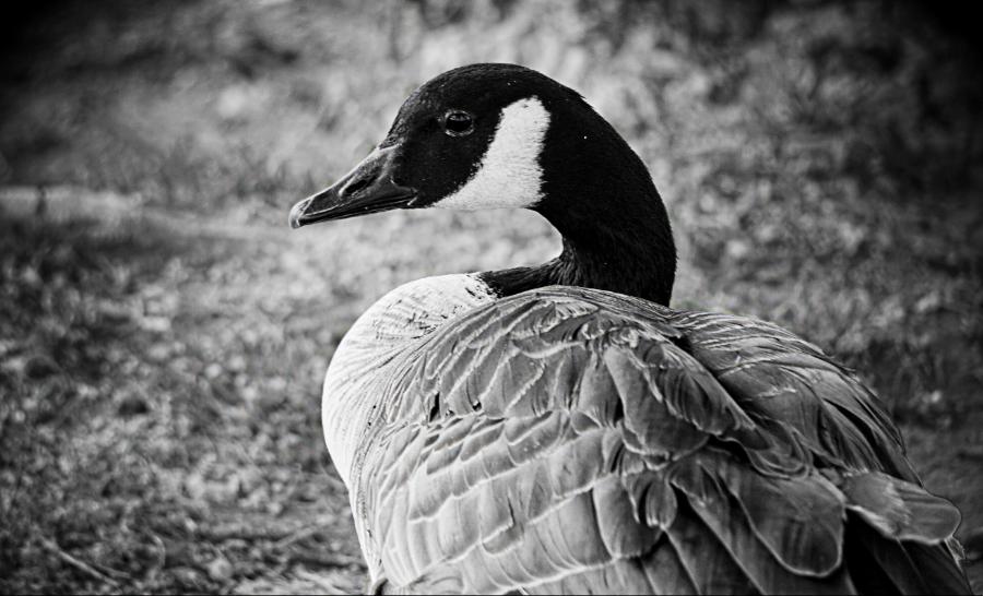 00-KetringLake-Goose-DSC05944_M900