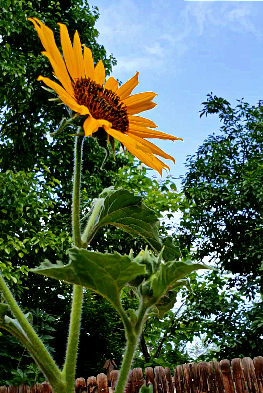 000-Sunflower-28827085948_5b3836db9d_A