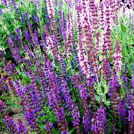 Salvia-pinkpurple-42683108991Asq