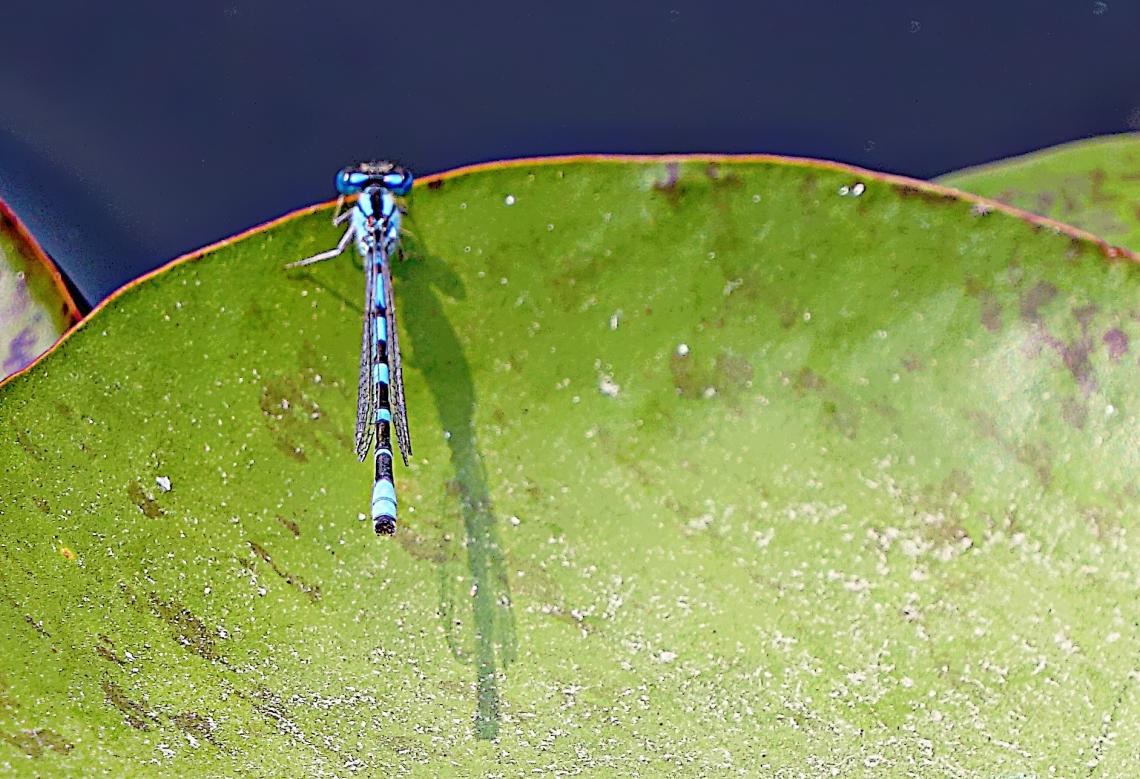 00-bug-dragonfly-DSC06177_A