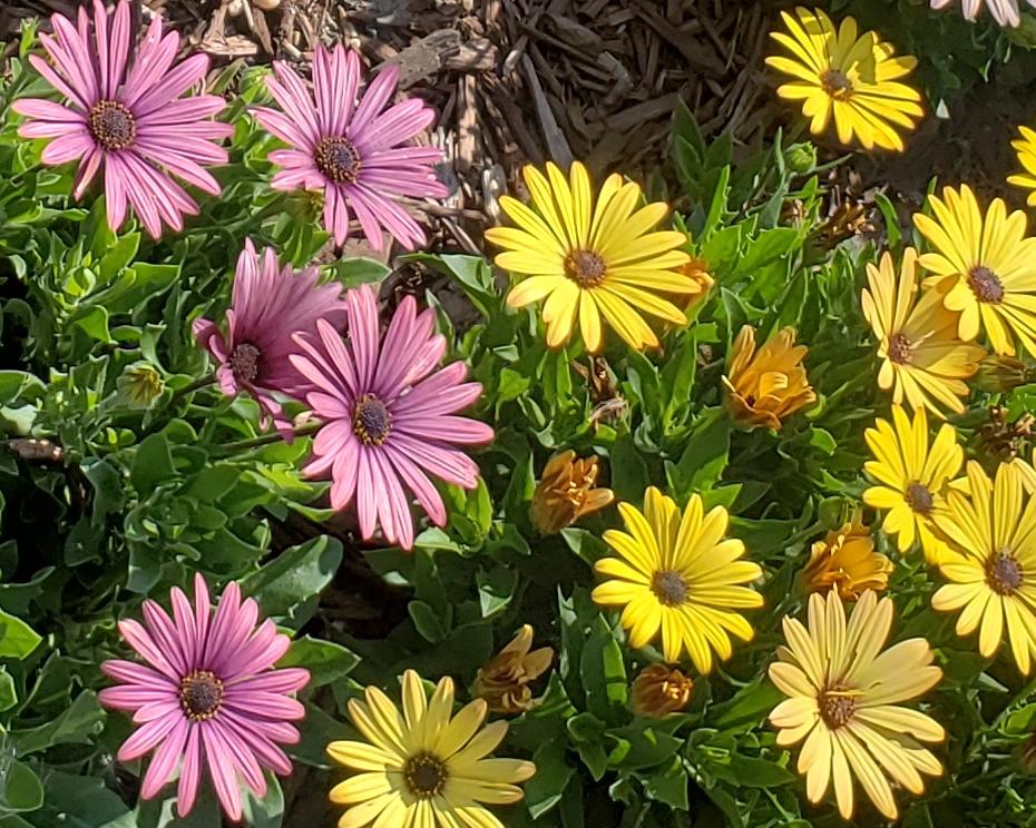 00-daisy-purple-yellow-20180721_100813_A