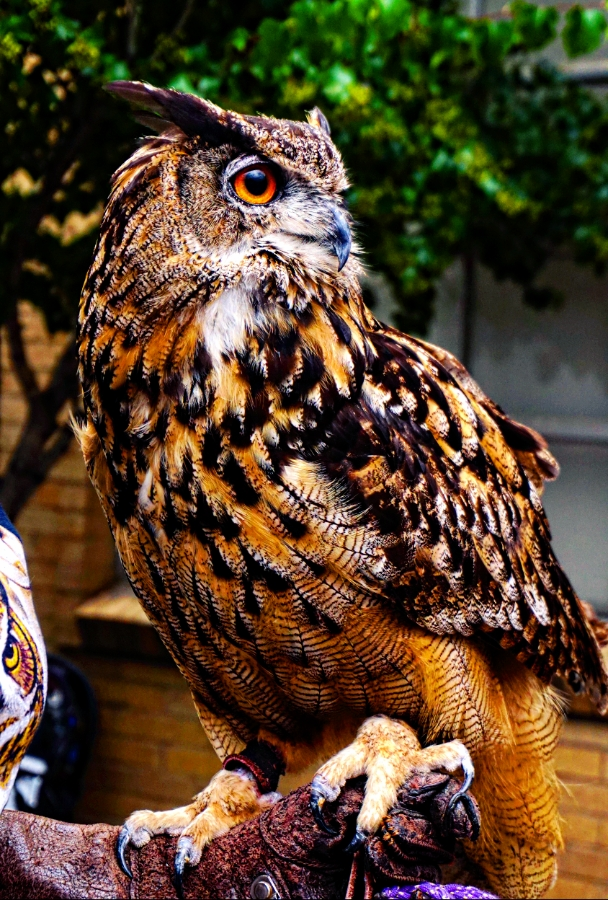 00-EagleOwl-DSC06105_C900