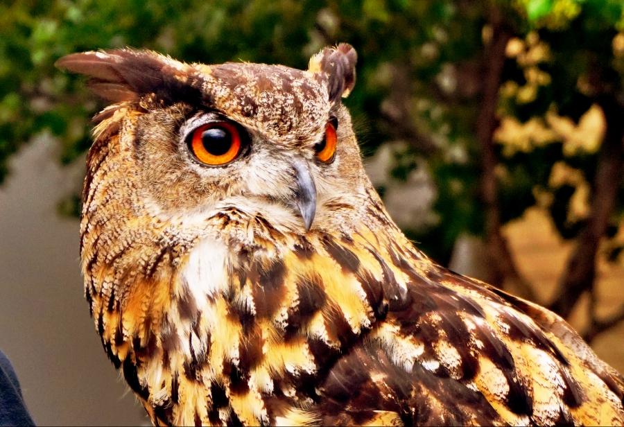 00-eagleowl-portrait-DSC06111_C900