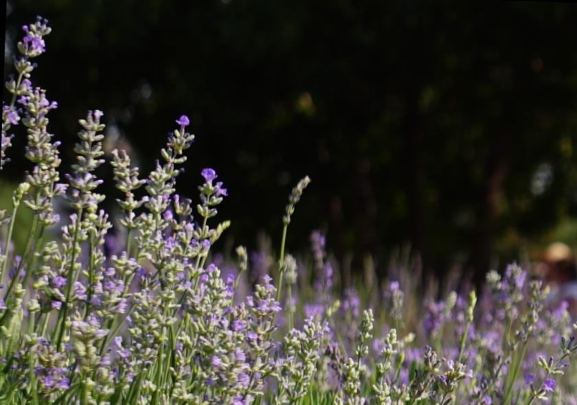 00-lavender-1-DSC06049A