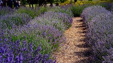 00-Lavender-DSC06046_A900