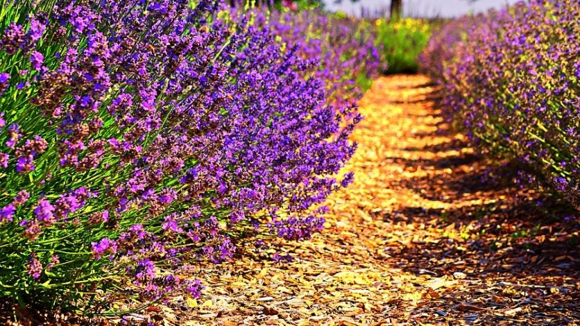 00-lavender-DSC06047A900