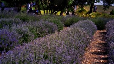 00-Lavender-DSC06048_A900