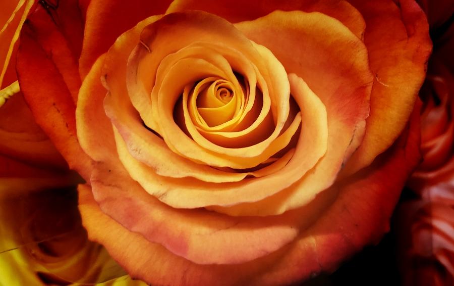 00-orange-rose-20180702_164722_A900