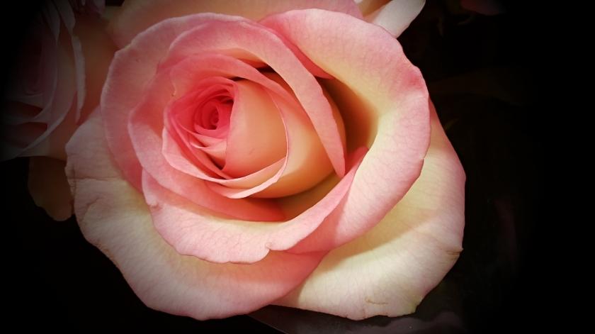 00-pink-rose-20180702_164705A900