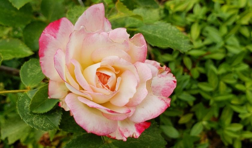 00-rose-2018-07-12_06-40-57_A900