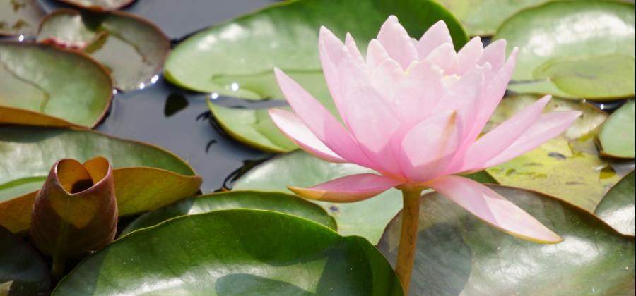 00-waterlily-pink-DSC06200_A900