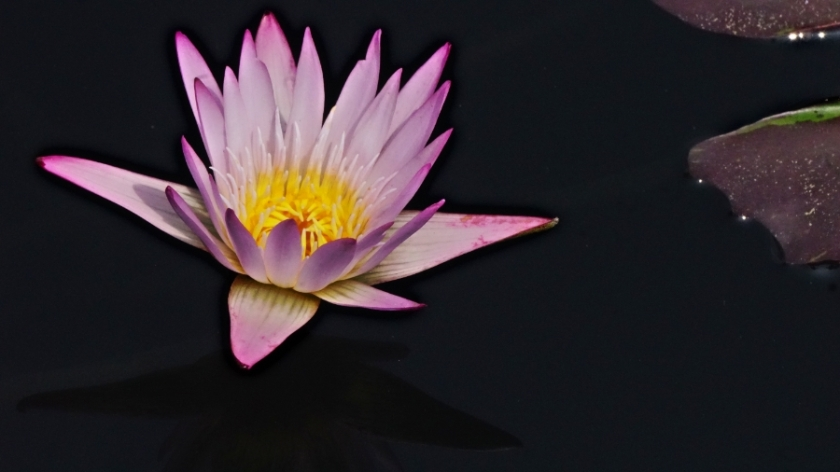 00-waterlily-purple-DSC06212_A900