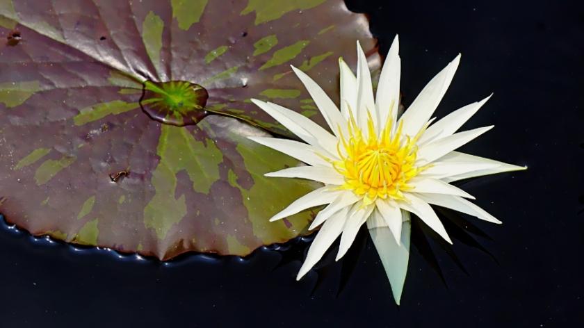 00-waterlily-white-DSC06163_A900
