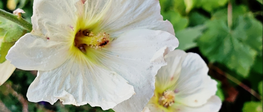 00-white-hollyhock-20180718A900