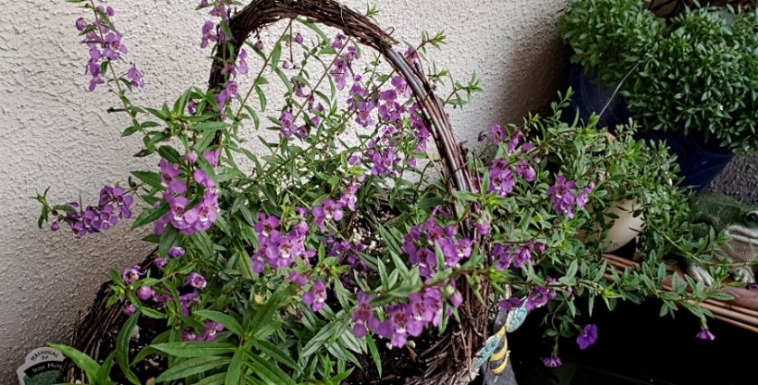00-flowerbasket-purple-20180815_191552A900