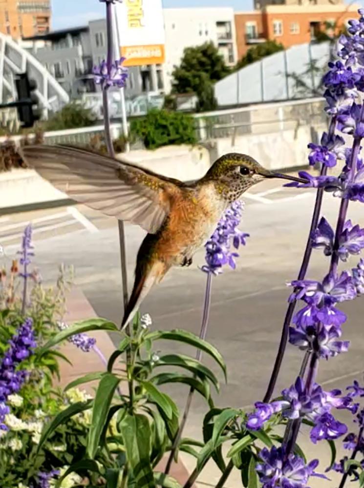 00-hummingbird-08252018-5-1000