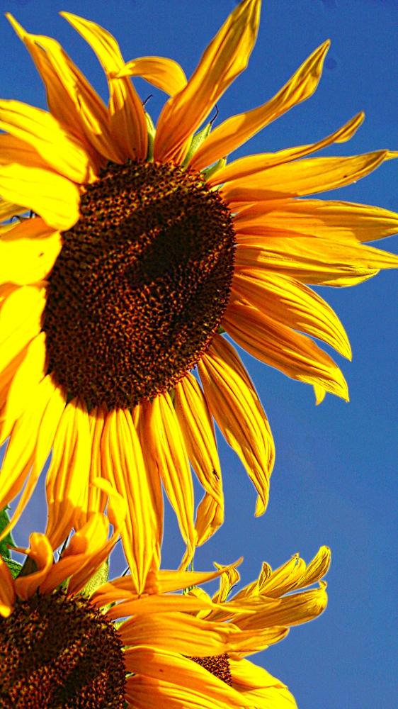 00-Sunflower-DSC06364-1000
