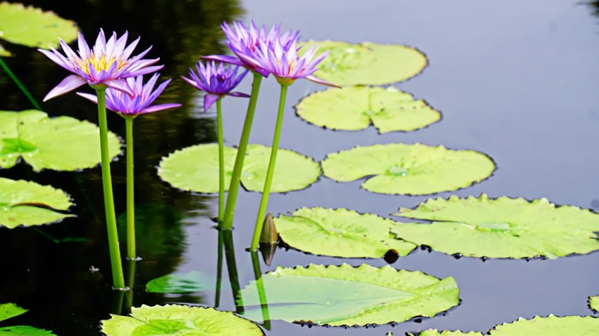00-waterlily-purple-DSC06174_A900