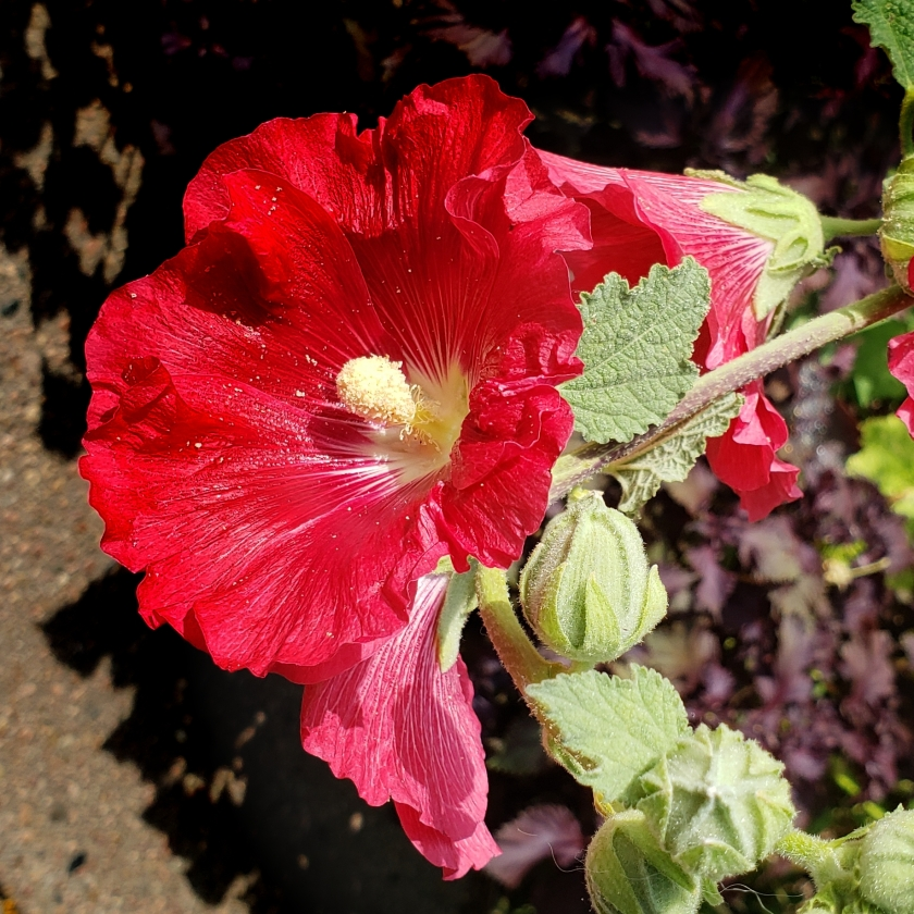 hibiscus-20180825_093501_A