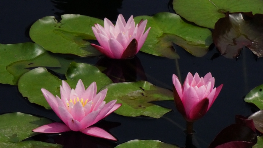 00-3-pink-waterlilies-DSC06216_A1000