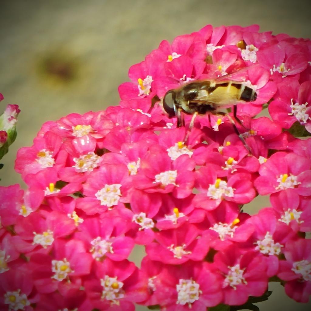 00-bug-bumblebee-pinkflower-DSC06113A
