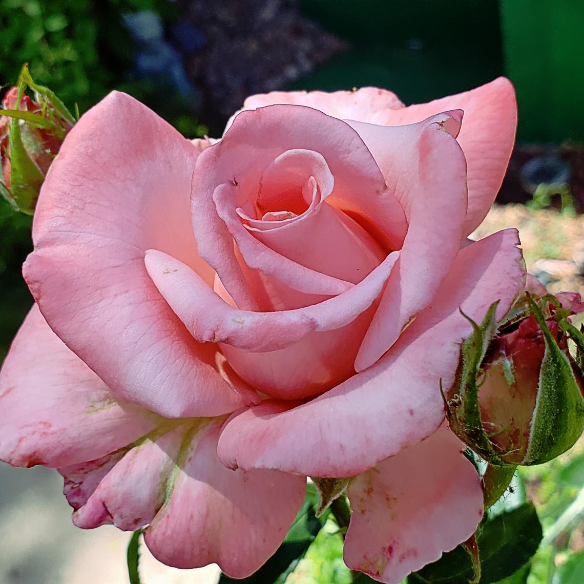 00-pinkrose-28776892458_A