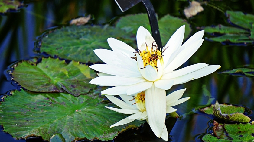 00-whitewaterlily-DSC06350_A1000